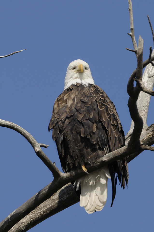 Bald Eagle (9)