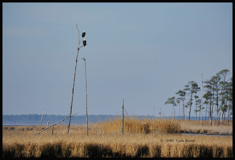 Used to be a common sight out at Observation area at Blackwater NWR .. then the walkway was put in which just pushed everything further away ...