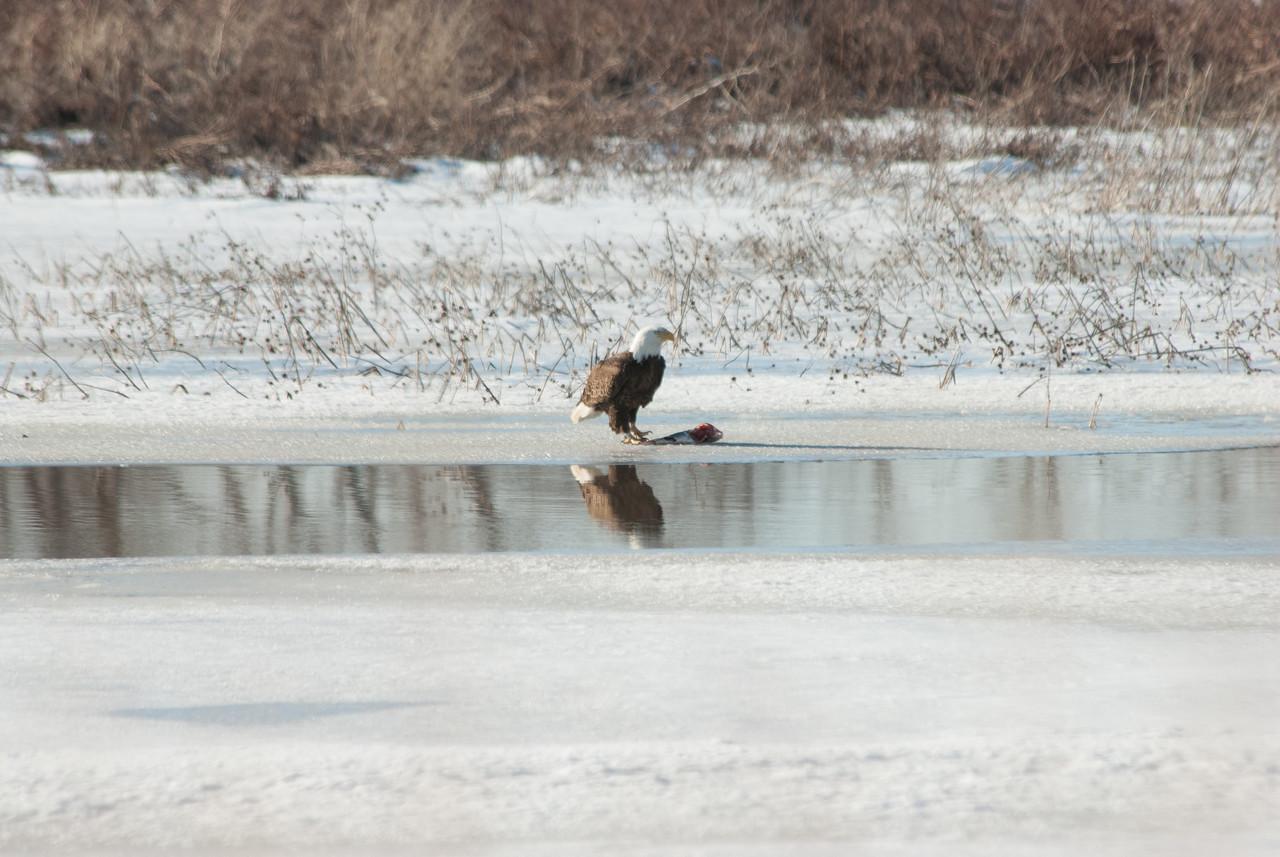 Bald Eagle (6)