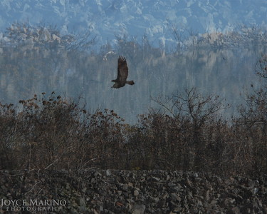 Double exposure of eagle at Conawingo Dam in Maryland, DSC_0749