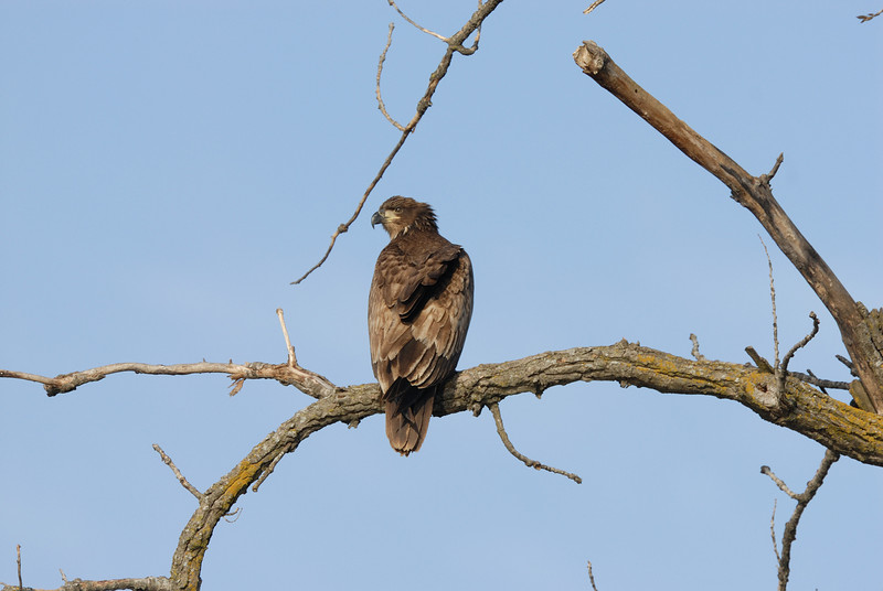 Immature bald eagle at Eagle Bluffs, Boone County, Missouri.