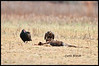 American Bald Eagle  Turkey Vulture and Immature ( Juvenile ) <br /> Blackwater NWR<br /> Cambridge, MD<br /> January 28th, 2012