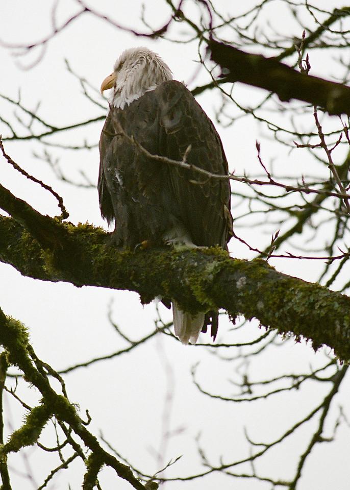 Bald Eagle above Skagit River