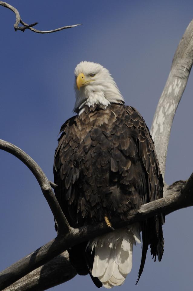 Bald Eagle (11)