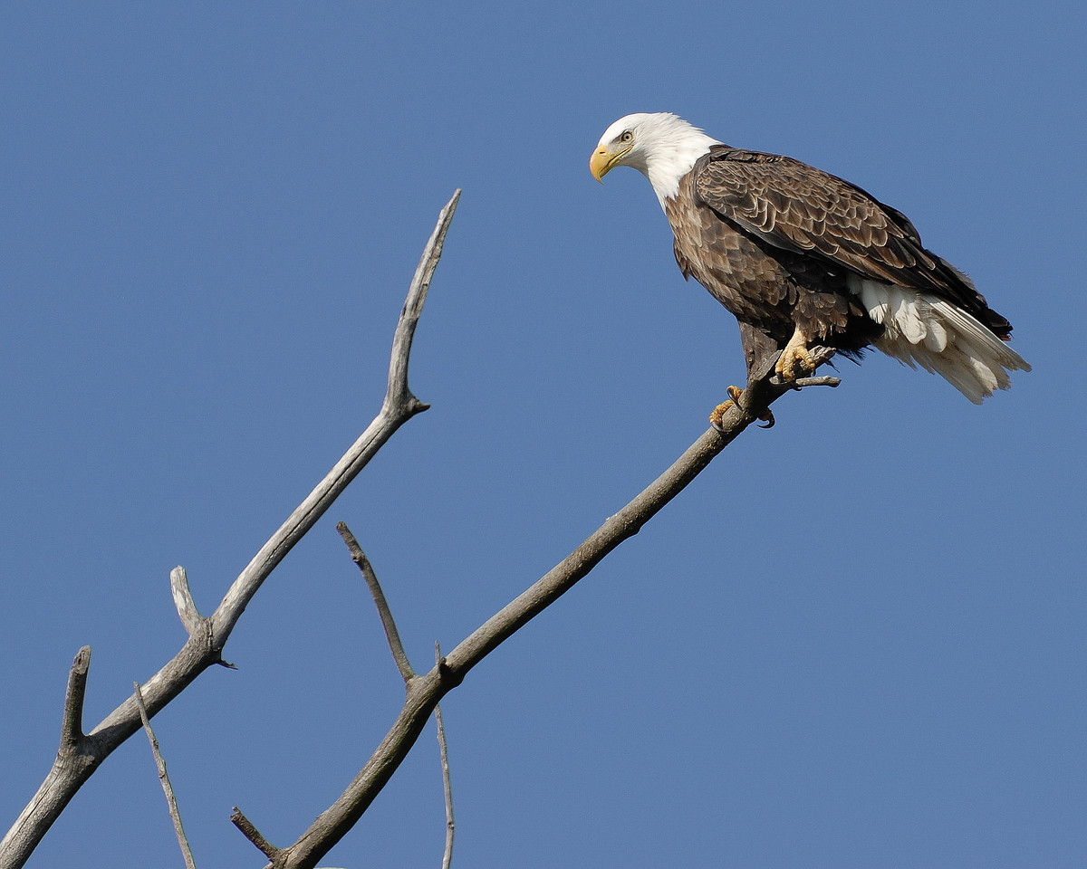 Mature bald eagle, along the Mississippi River, St. Charles County, Missouri.