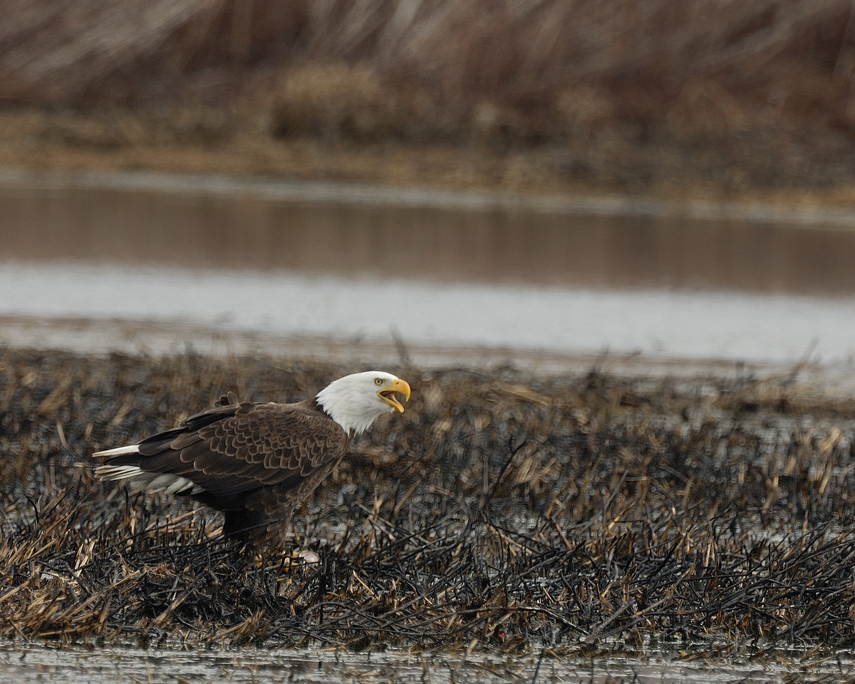 Bald Eagle_Eagle Bluffs