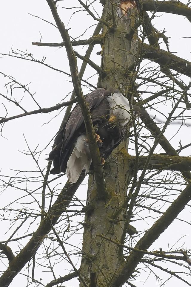 Bald Eagle near my office in Bothell, WA