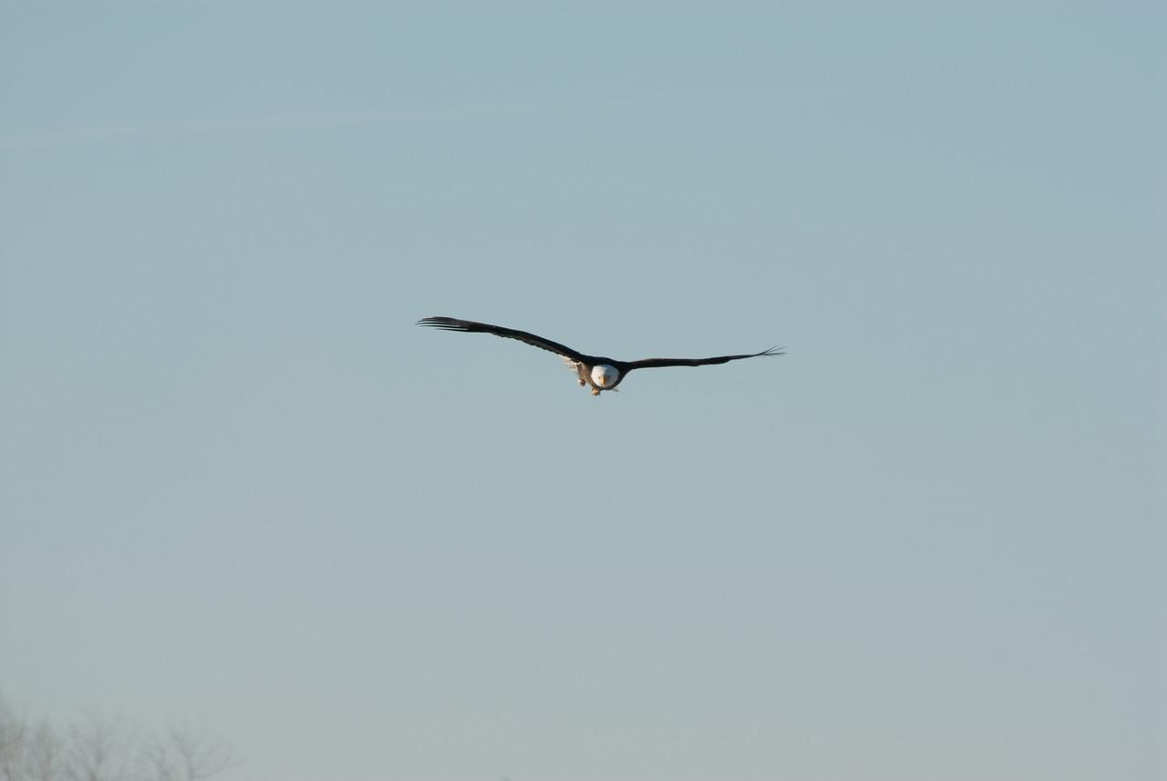 Bald Eagle (4)