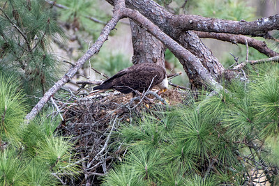 Bald Eagle feeding eaglet in the nest