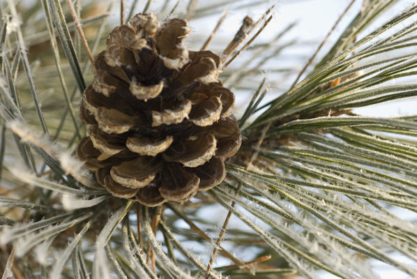 2/2010:  Hoarfrost and pine cone, at home.