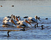 American White Pelicans and Double-crested Cormorants
