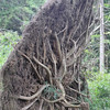 Roots of blown over tree