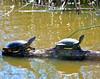 Pacific Pond Turtles