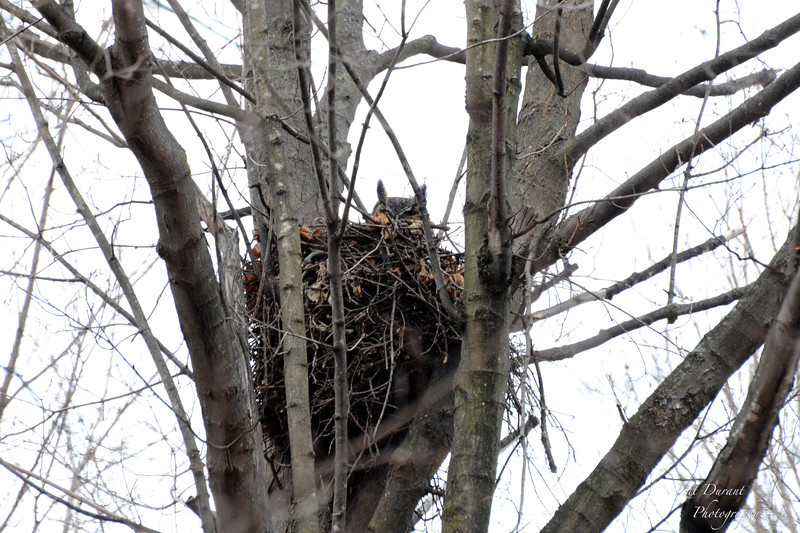 Great horned owl peeking over the nest