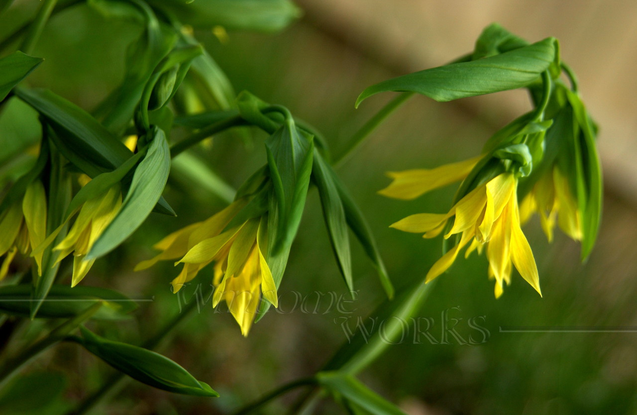 Merry Bells wildflower (Uvularia) a.k.a. bellwort or wild oats, of family Liliaceae
