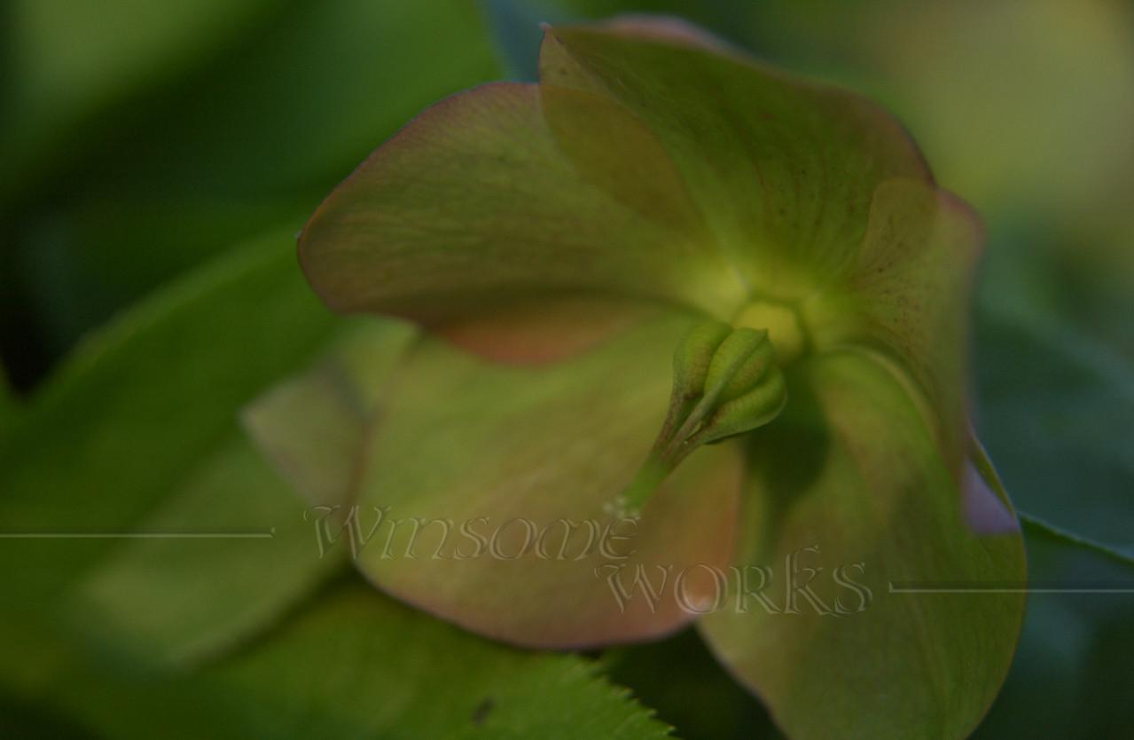 Hellebore or Lenten rose