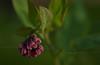 Virginia bluebells or Mertensia virginica