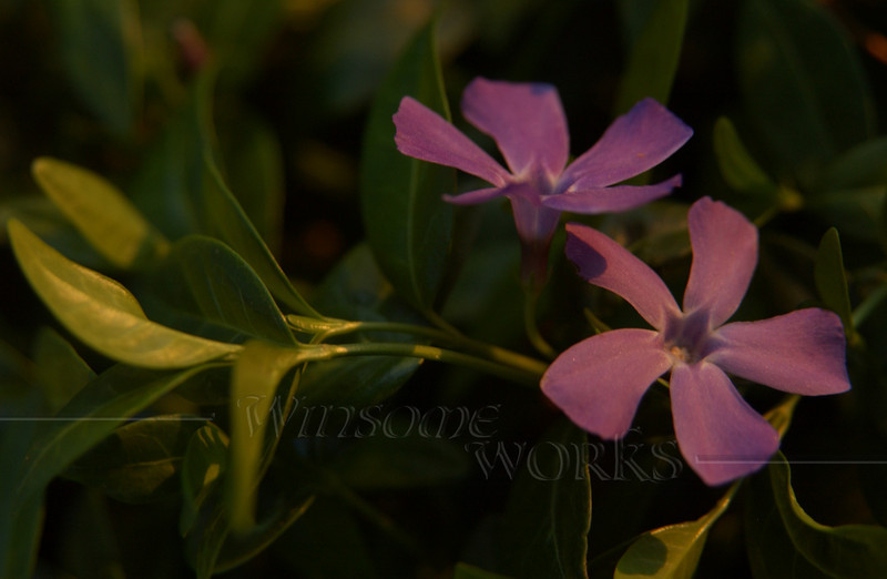 Periwinkle or Vinca minor