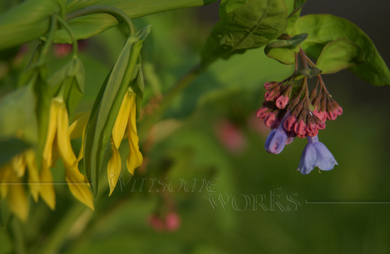 Virginia bluebells or Mertensia virginica
