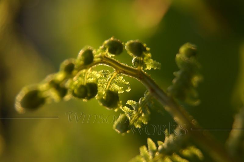 Fiddlehead fern macro