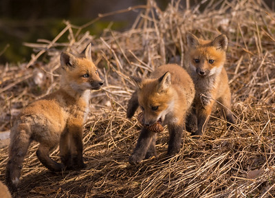 Earth Day - Birds and Baby Foxes