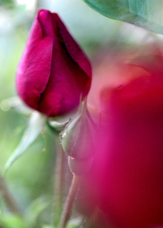Rose Daydream