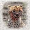 Day 07 Serengeti Cheetah 9