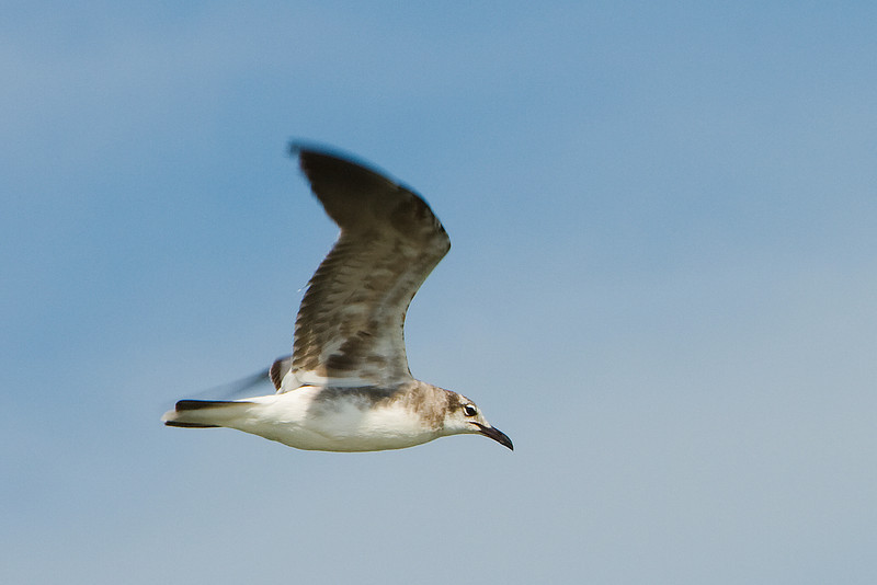 Flying Gull, Sandbridge, VA