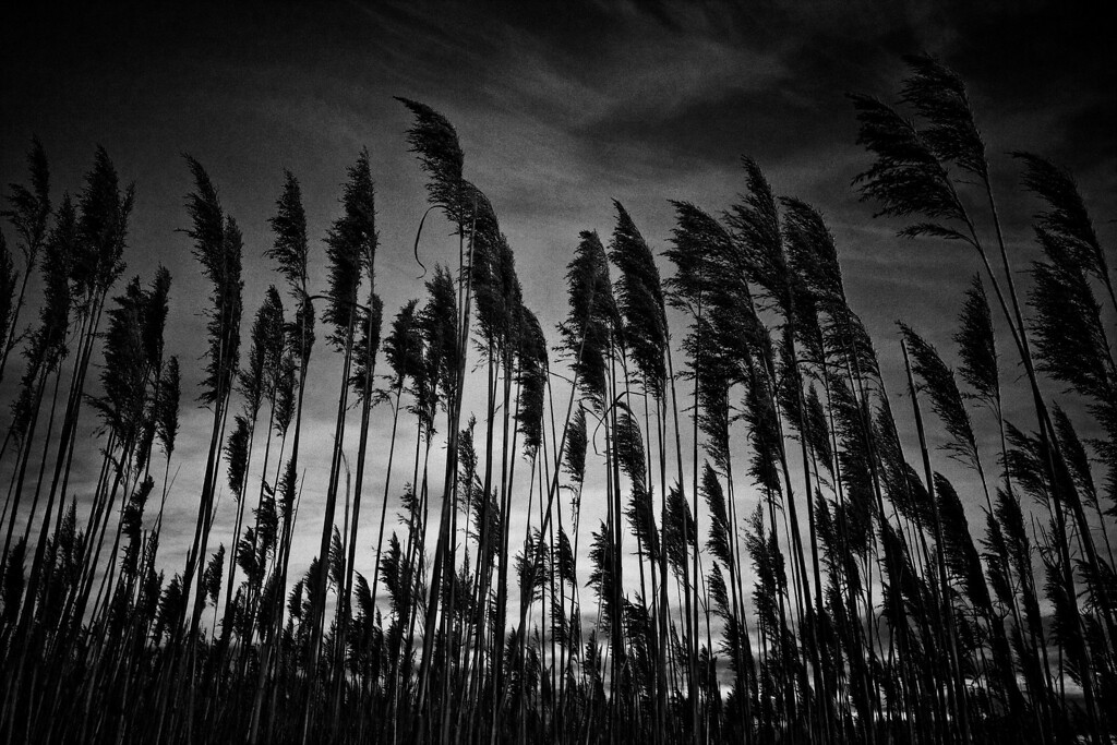 Tall Grass (BW).  Back Bay Nat'l Wildlife Refuge, VA