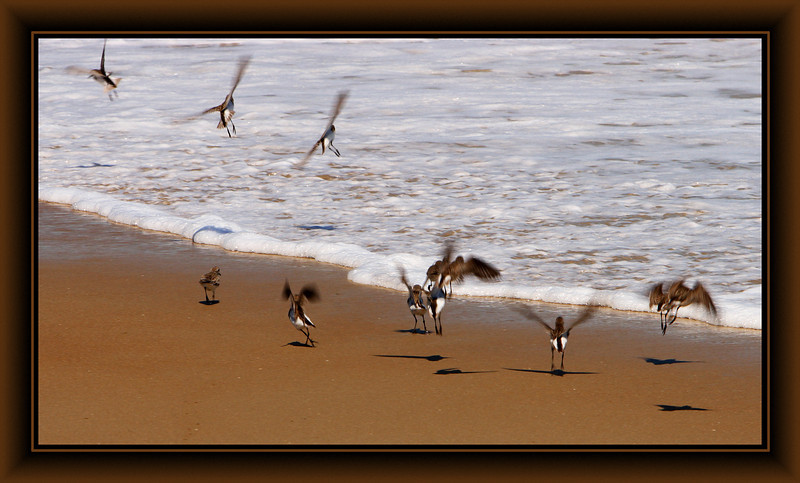 Sandpipers, Sandbridge Beach, VA