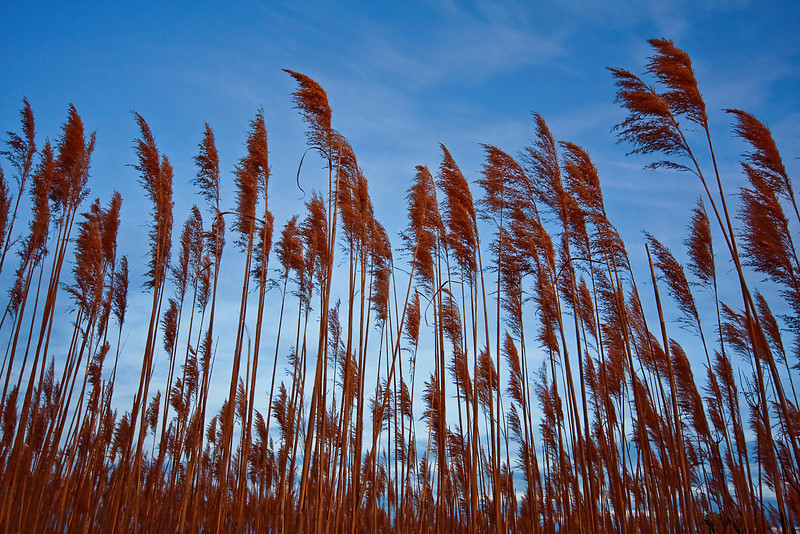Tall Grass.  Back Bay Nat'l Wildlife Refuge, VA