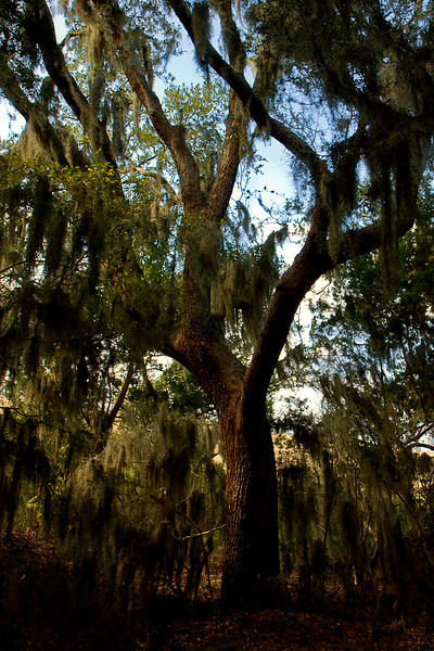 Covered in Spanish Moss.  Amelia Island, FL
