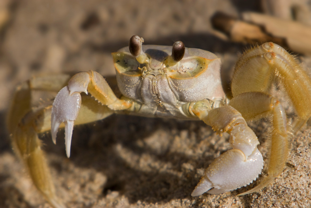 Crab.  Sandbridge Beach, VA