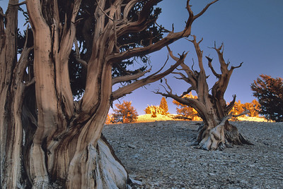 Ancient Bristlecone Pine Forest, White Mountains.   whitemt2w