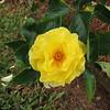 Tyler rose garden
