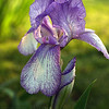 Purple Back-lit Iris in the Limelight; Quakertown, Bucks County, PA
