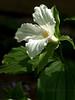 Trillium grandiflorum, adopted from a friend's garden