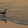 Seagull in Hunting Island Surf at Dawn  - Hunting Island S.P., SC