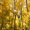 The sun peeks through a grove of aspen at Silver Lake in fall.  June Lake Loop, Eastern Sierra, California, USA