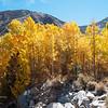 Aspens turn color along Bishop Creek.  Eastern Sierra, California, USA.