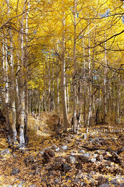 Aspen woods in fall.  Near Aspendell, California, USA.