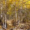 Aspen woods in fall.  Near Aspendell, California, USA.