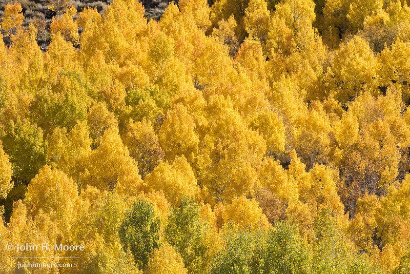 Aspens turning color in fall in the Eastern Sierra, California, USA