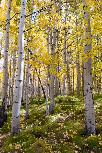A sunny glade of aspens in fall.  Near Aspendell, California, USA.