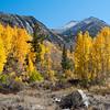 Aspens turn fall colors in Surveyor's Meadow near Bishop, California, USA.