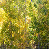 Aspens turning color in fall.  Near Aspendell, California, USA.