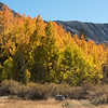 Aspen turning fall colors in Surveyor's Meadow along the road to South Lake outside of Bishop, California.