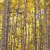 Aspens in fall.  Eastern Sierras.  Above Aspendell, California, USA.
