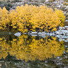 Yellow-orange aspens reflect in a fishing pond near Cardinal Village Resort.  Aspendell, California, USA