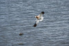 <h2>American Avocet</h2> In the Mammoth area there is a man made lake that attracts birds.  We visited the lake this time and saw serveral of these types of birds.<br><br>Thanks to my brother Mark for the identification of this one.